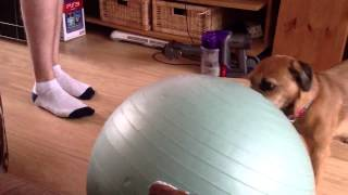 Border Terrier Plays With A Big Ball