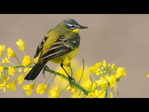 """Peaceful Relaxing Instrumental Music, Calm Meditation Music """"Spring Songbirds"""" by Tim Janis"""
