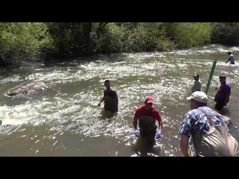 Historic Salmon Release on the Duck Valley Indian Reservation