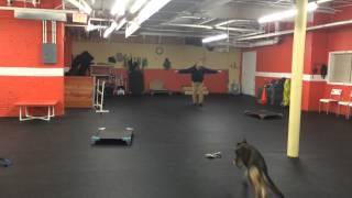 Remote Collar Recall Drills Dog Training Gsd
