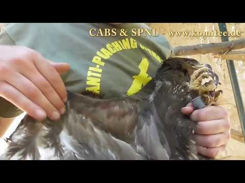 Blood on the Motorway of Migration: Raptor killing in Lebanon – CABS & SPNL video