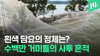 수백만 거미떼가 빚어낸 흰색 담요...거미의 생존 투쟁은 예술품을 선사한다? / 14F