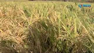 Paddy Cultivation by Rice Drum Seeder - Paadi Pantalu