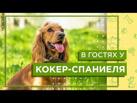 В гостях у АНГЛИЙСКОГО КОКЕР-СПАНИЕЛЯ