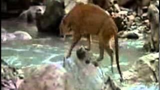 Puma ataca puiul de urs