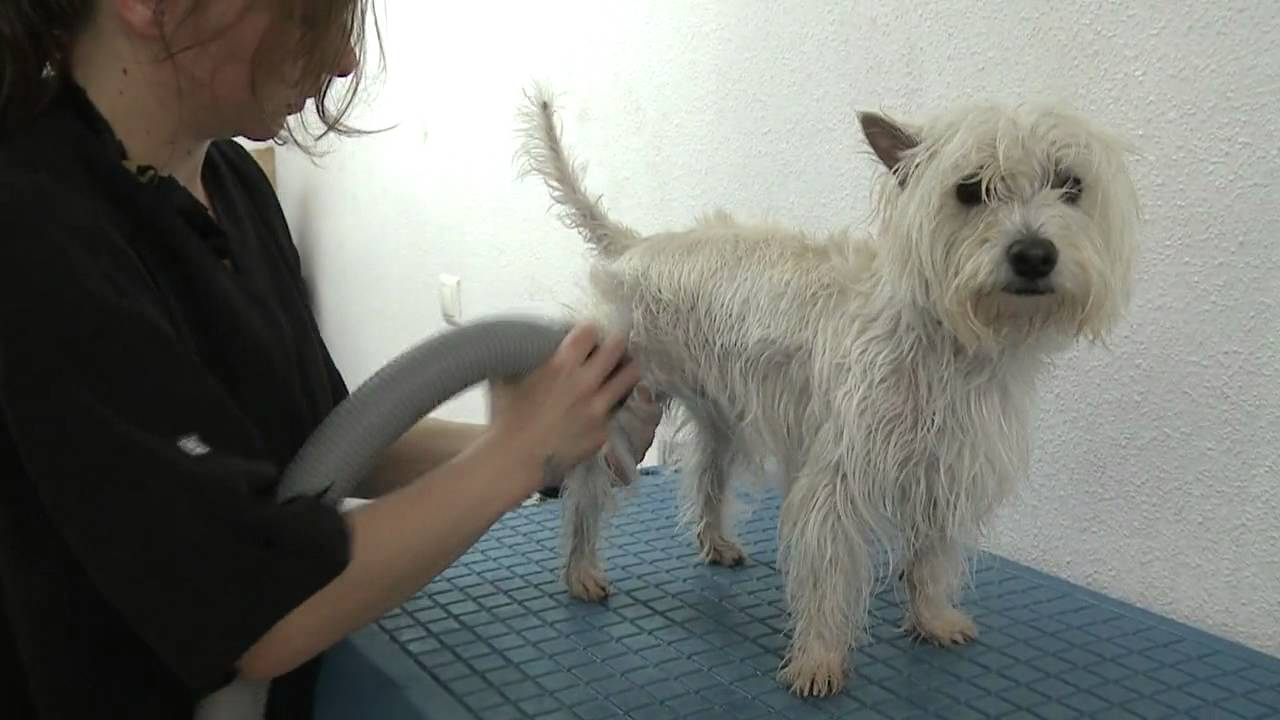 Peluquería Canina, corte West Highland Terrier - YouTube