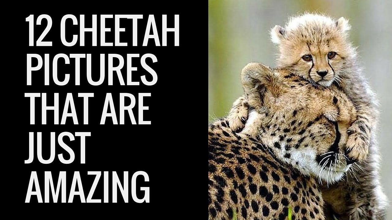 Where Does A Cheetah Live >> 12 Amazing Cheetah Images | 12 Pictures of Cheetah | Cool Colection of Cheetah Pictures - YouTube