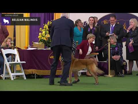 Belgian Malinois | Breed Judging 2020