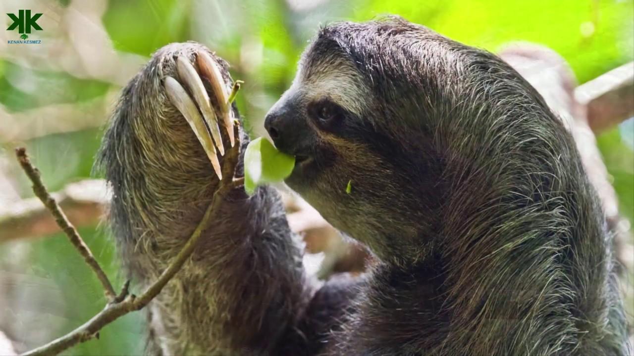 Tembel hayvanlar hakkında hiç duymadığınız ilginç bilgiler