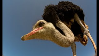 Robot Spy Ostrich Chick Joins Real Chicks in Nest
