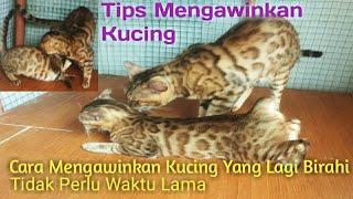 cara Mengawinkan Kucing Yang Lagi Birahi