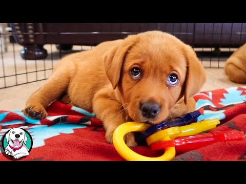 THE CUTEST LABRADOR VIDEOS OF 2020!!