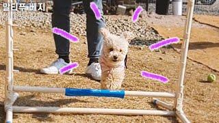 말티푸 강아지가 날아다닌 사연 ㅣ 애견 카페 추천 (야…