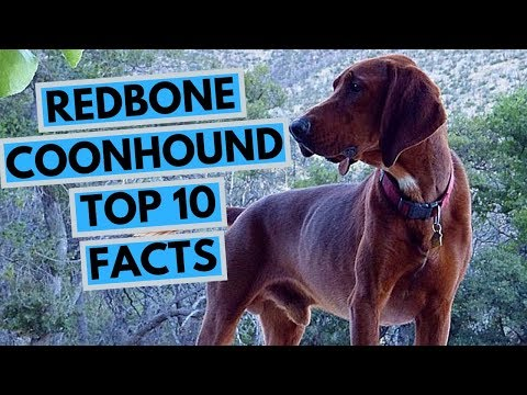 Redbone Coonhound - TOP 10 Interesting Facts