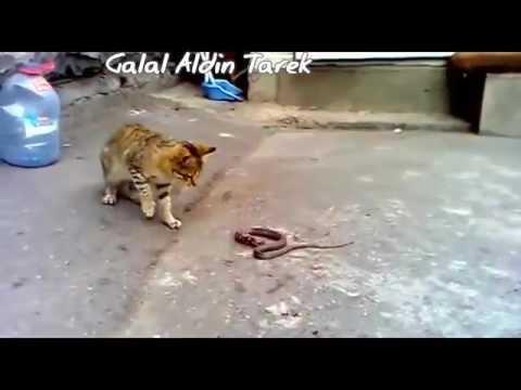قط يقتل ثعبان - cat kills snake