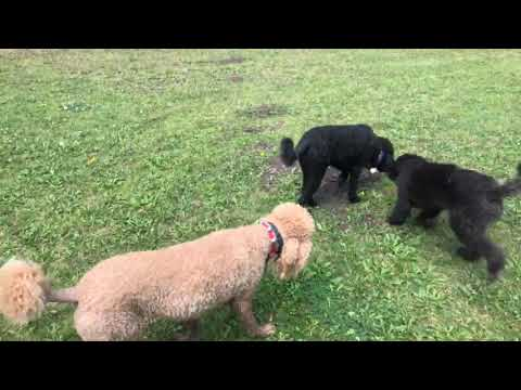 Another Awesome Video Featuring Standard Poodles in Sun Valley Idaho