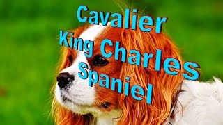 Cavalier King Charles Spaniel Dog Breed Info.  How to Choose Dogs