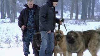 Кавказские овчарки - игривые и дружелюбные собаки