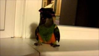 Сенегальский попугай Гоша снимает шляпу.