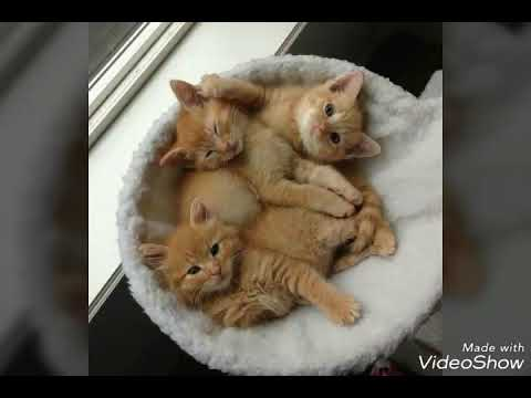 The cute and best cat breed is ginger breed