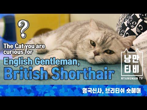 Blue Cat Mix British Shorthair Funnycat Tv