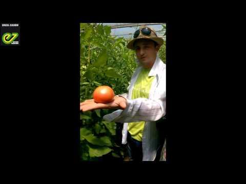 Опыт выращивания томата Пинк Шайн F1 в Астрахани