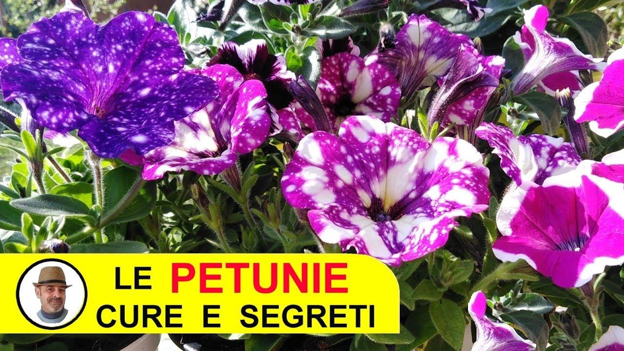 Orchidee Meravigliose Trucchi E Segreti petunie e surfinie meravigliose cure e segreti