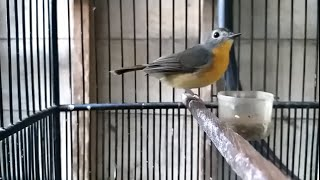 Suara Sulingan Gunung Betina Pikat Untuk Terapi Burung Tledekan Sikatan Bisu Agar Cepat Bunyi Gacor