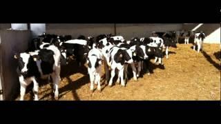 FEEDLOT FATTENING FARM SHAKIL KARACHI DR.ASHRAF SAHIBZADA .wmv