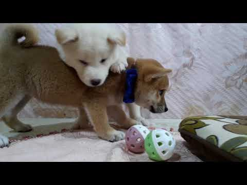PuppyFinder.com : White Shiba Snowy-4