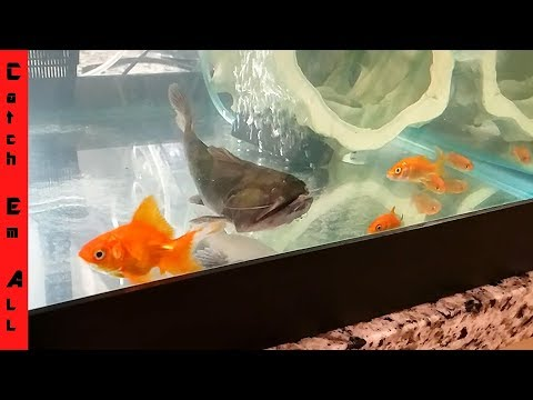 BLOB CATFISH eats FISH FARM GOLDFISH!