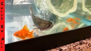 BLOB FISH eats GOLDFISH!