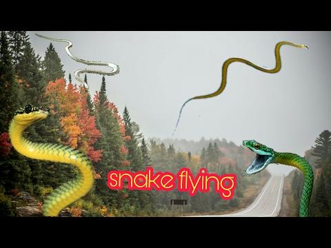 snake fly, flying snake in India