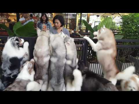 Siberian Husky at Play and Snack Time