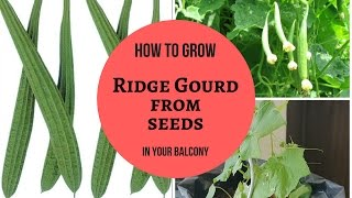 Organic Ridge Gourd | How to grow Ridge Gourd from seeds step by step Telugu | kitchen gardening