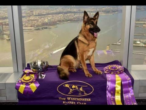 Winner 141st Westminster Kennel Club Dog Show