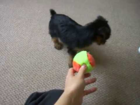 Mini Yorkie Puppy Playing Mini Yorkshire Terrier Puppy Micro