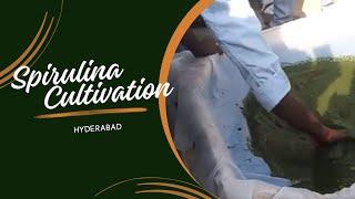 spirulina culture, satish   hyderabad   9296601789