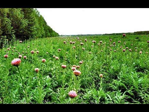 Травы, повышающие потенцию Компетентно о здоровье на iLive