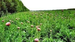 Травы для повышения потенции(Травы для повышения потенции применяются в народной медицине., 2016-02-15T07:45:53.000Z)