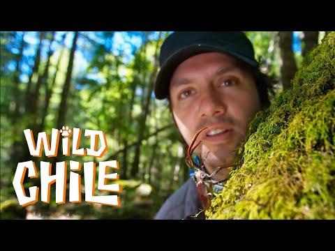 Wild Chile - Capítulo 8 | País Salvaje 🐾🐯