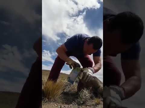 Ayuda a un pequeño zorro con la cabeza atrapada en un brick