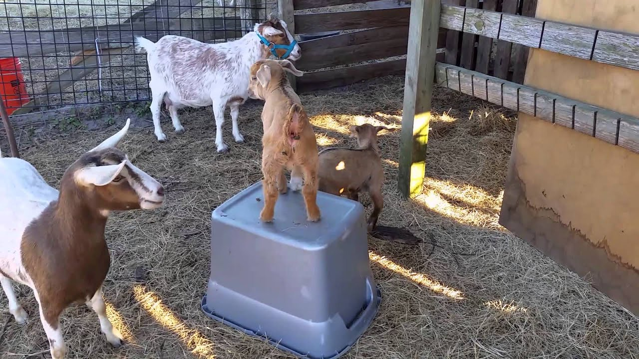 Most Funny and Cute Baby Goat Videos Compilation (2018 ... |Baby Goats Playing Youtube