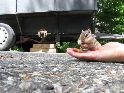 Adorable chipmunk stuffs cheeks with almonds