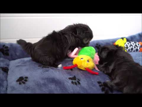 Super Sweet Long Coat Mi-Ki Puppy Flash 5 Weeks!