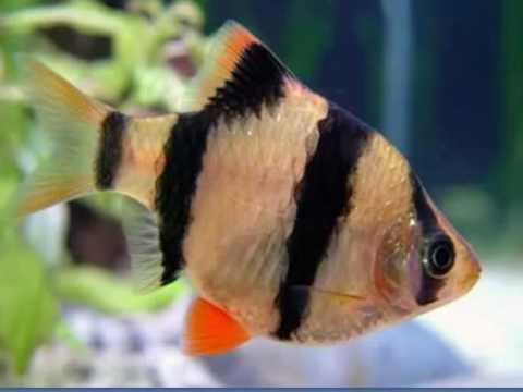 Рыбка барбус в аквариуме. Содержание, уход, размножение ...