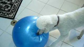 Chaos Over The Poodle Playing With The Yoga Ball.mov