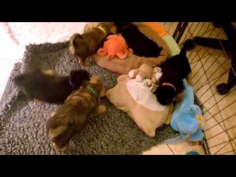 Life is beautiful and treats are great ! Norwich Terrier Alta Carya FCI puppies 2016