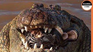 Fight Between Zebras and Crocodiles