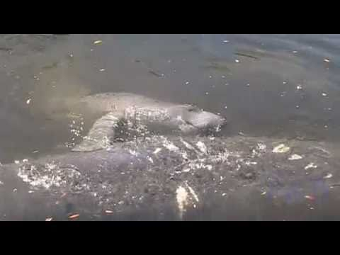 Mating Manatees In Hudson, FL, The Extended Cut